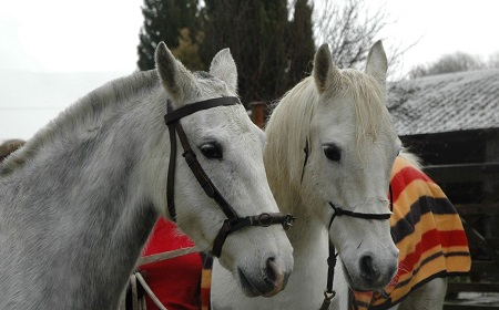 Lluest Horse and Pony Trust - Rescue Arab