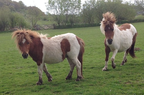 Lluest Horse and Pony Trust  - Rescue Shetland Ponies